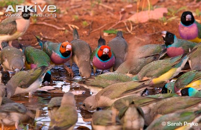 Gouldian-finch-flock-at-water-hole.jpg