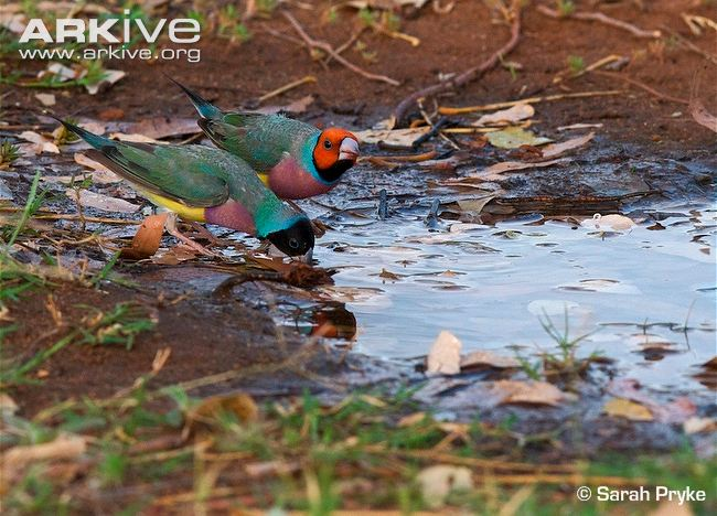 Red-headed-and-black-headed-Gouldian-finches-at-water-hole.jpg